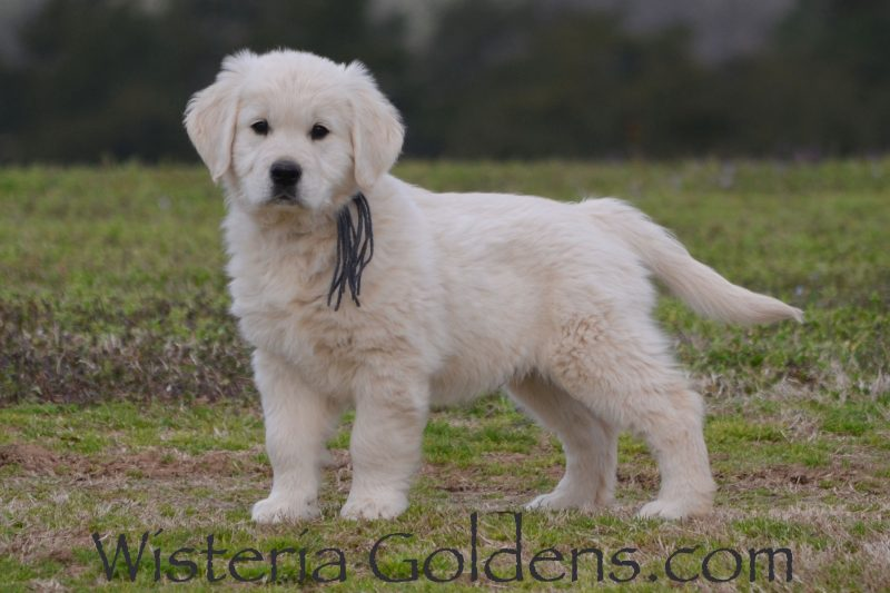 Marley Litter Born 01-10-2019 English Cream Golden Retriever Puppy for sale. Wisteria Goldens Bred with Heart AKC registered English Golden. Cooper (Silver Boy) He is a sweet, affectionate boy. He loves to play, but loves to be with you and enjoys hanging out in your lap. He has good focus for training and is doing well on leash, sit, right here, and in the crate. He weighs 16.6 lbs
