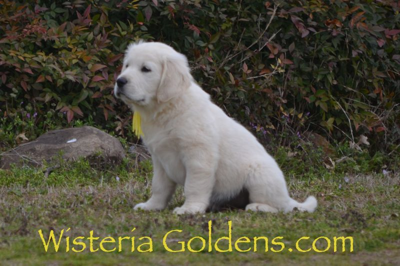 Sailor Litter Born 01-15-2019 Nine Week Pictures English Cream Golden Retriever puppies for sale Wisteria Goldens Bred with Heart AKC Registered English Golden #sailor011519