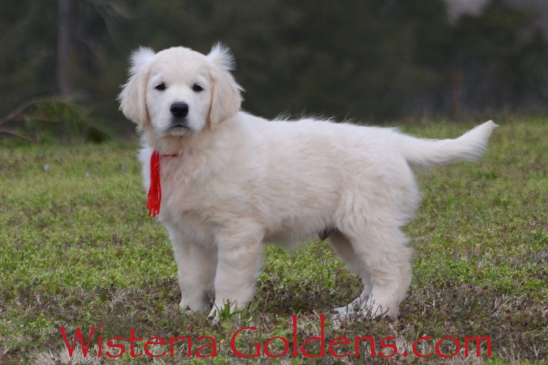 Breeze Litter English Cream Golden Retriever puppy for sale Wisteria Goldens Bred with HEART AKC Registered English Golden. Jake (Red Boy) He is an outgoing, active boy, that loves to play, and enjoys his toys. He is all boy, but has pretty good focus for training – very food motivated. After playing he loves to hangout for cuddles and lovin's. He is doing well with sit, down, right here, and fairly well on leash. He takes a few minutes to adjust to new situations, but overcomes them pretty quickly. He weighs 18 lbs.