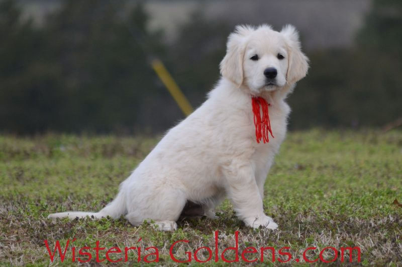 Update 10 Weeks Jake Breeze Litter Starter Trained English Cream Golden Retriever puppy for sale