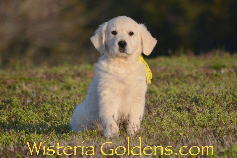 Trained Puppies for Sale English Cream Golden Retriever Wisteria Goldens Bred with Heart AKC Registered 10 week puppy pictures. This is Max (Yellow Boy Marley/Chance – Litter Born 1/10/19) is such a sweet, affectionate boy, good on leash, but happy just hanging out and being loved on. Lower energy, mellow, gentle boy that loves to play, and usually has a toy he is carrying around. He would make a great companion for a less active family. He is doing well in the crate and basic commands -- sit, right here, let's go, wait.