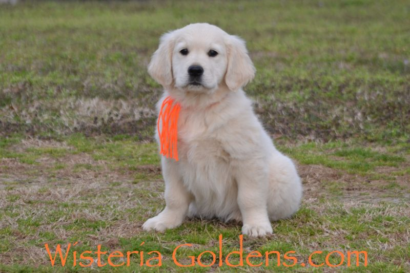 Marley Litter Born 01-10-2019 English Cream Golden Retriever Puppy for sale. Wisteria Goldens Bred with Heart AKC registered English Golden. Milo (Orange Boy) is an outgoing, sweet boy that loves to cuddle. He just melts into you with hugs. He is doing well with training. He can get distracted easily, but does well with learning once you have his attention. He weighs 17.2 lbs