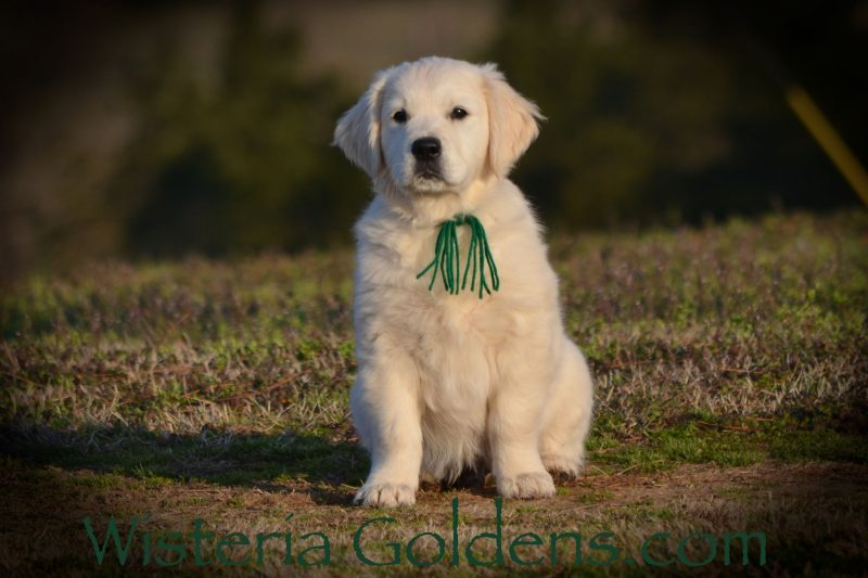 Trained Puppies for Sale English Cream Golden Retriever Wisteria Goldens Bred with Heart AKC Registered 10 week puppy pictures. This is Ryder (Green Boy Marley/Chance – Litter Born 1/10/19) is an outgoing, active, fun boy. Once he settles (after playing) great focus for learning. He is very affectionate and loves to be with you. He is doing well in the crate and basic commands. He walks pretty good on the leash, and LOVES to play with the ball.