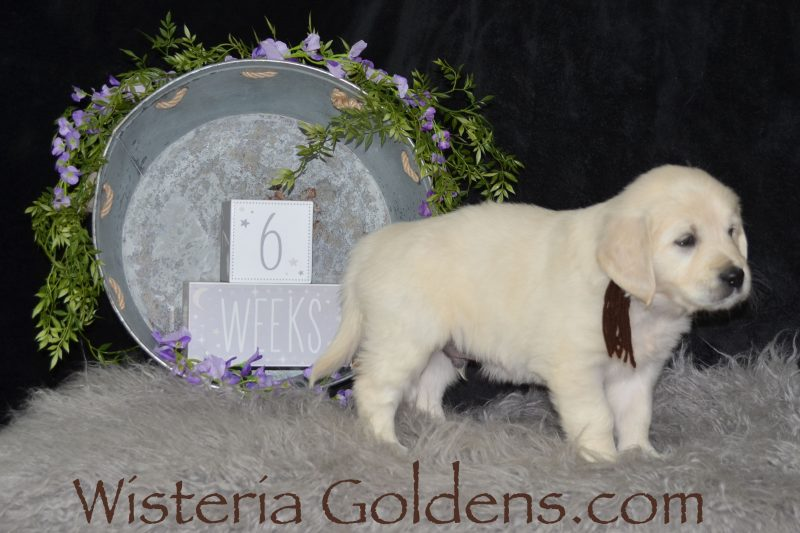 Sailor Litter Born 01-15-2019 Eight Week Pictures English Cream Golden Retriever puppies for sale. Wisteria Goldens Bred with HEART AKC Registered English Golden #sailor011519