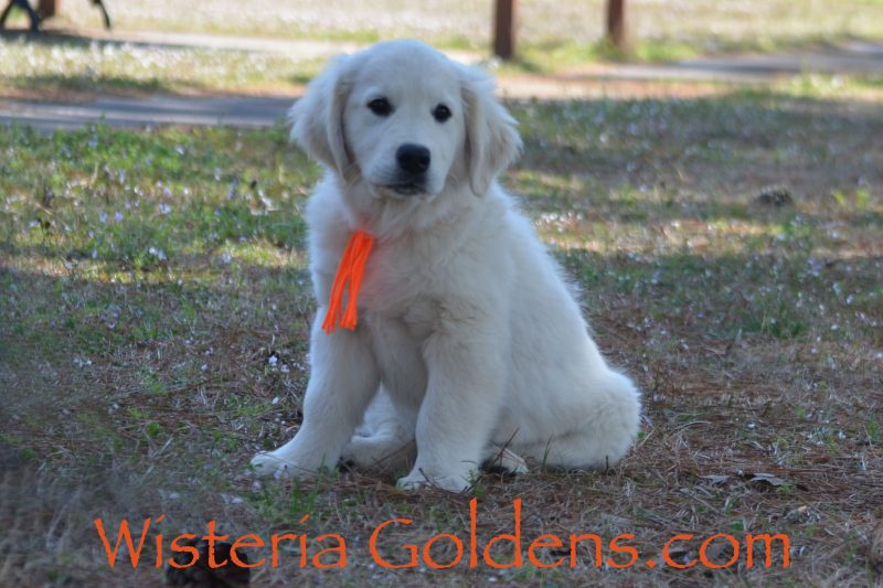 Piper Litter Born 12-30-2018 English Cream Golden Retriever Puppies for sale Wisteria Goldens Bred with HEART AKC Registered English Golden #piper123018
