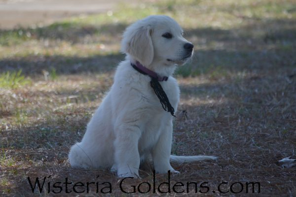 Theo Starter Trained puppy for sale Piper Litter Born 12-30-2018 English Cream Golden Retriever Puppies for sale Wisteria Goldens Bred with HEART AKC Registered English Golden #piper123018