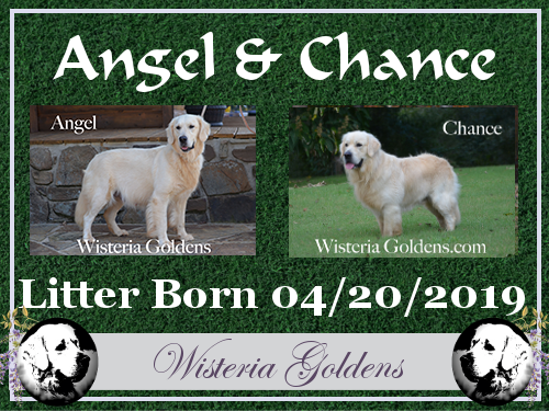 Angel Litter Born 04-20-2019 #angel042019 English Cream Golden Retriever Puppies for Sale. Wisteria Goldens Bred with HEART AKC Registered English Golden