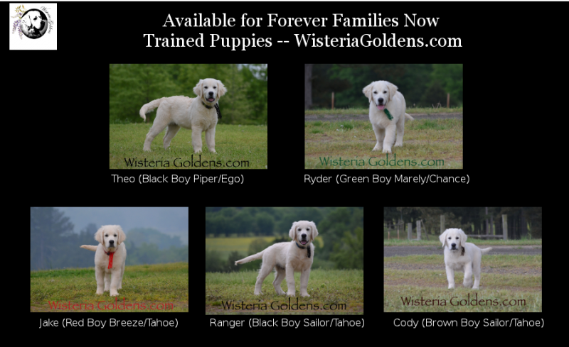 available puppies english cream golden retriever trained puppies available now Wisteria Goldens Bred with HEART