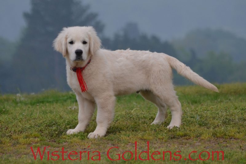 Jake Trained Puppies for sale Available Now! English Cream Golden Retriever puppies Wisteria Goldens Bred with HEART AKC Registered English Golden Visit our Trained Puppies page for details. wisteriagoldens.com/trained-english-golden-retriever-puppies-for-sale/ #englishcreamgoldenretriever #puppiesforsale #wisteriagoldens #bredwithheart #akcregistered #englishgolden #availablenow #trainedpuppiesforsale