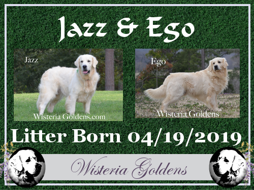 Jazz Litter Born 04-19-2019 English Cream Golden Retriever puppies for sale Wisteria Goldens Bred with HEART AKC registered English Golden Find out more on the website or contact us for most current availability