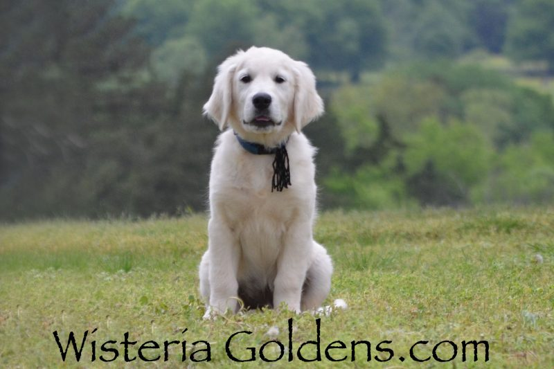 Ranger 14 Weeks Trained Puppies for sale Available Now! English Cream Golden Retriever puppies Wisteria Goldens Bred with HEART AKC Registered English Golden Visit our Trained Puppies page for details. wisteriagoldens.com/trained-english-golden-retriever-puppies-for-sale/ #englishcreamgoldenretriever #puppiesforsale #wisteriagoldens #bredwithheart #akcregistered #englishgolden #availablenow #trainedpuppiesforsale
