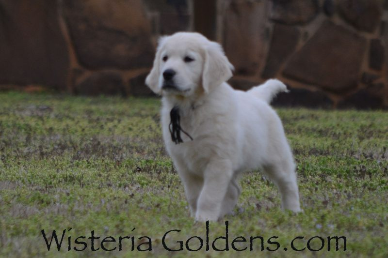 9 Week Pictures. Ranger Black Boy.Trained English Cream Golden Retriever puppies for sale Wisteria Goldens