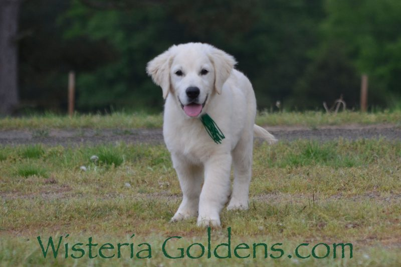 Ryder 15 weeks Trained Puppies for sale Available Now! English Cream Golden Retriever puppies Wisteria Goldens Bred with HEART AKC Registered English Golden Visit our Trained Puppies page for details. wisteriagoldens.com/trained-english-golden-retriever-puppies-for-sale/ #englishcreamgoldenretriever #puppiesforsale #wisteriagoldens #bredwithheart #akcregistered #englishgolden #availablenow #trainedpuppiesforsale