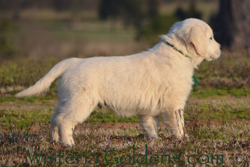 Ryder Green Boy Marley/Chance 10 Week Pictures Wisteria Goldens English Cream Golden Retriever Starter Trained Puppies for Sale