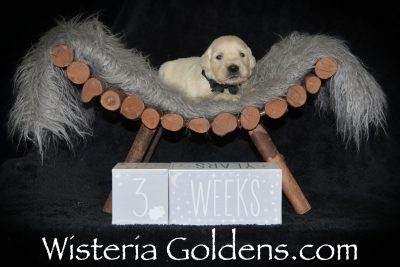 Shiloh Sunny Litter Born 04/09/2019. 3 Girls and 7 Boys. Three Week Pictures. Wisteria Goldens English Cream Golden Retriever puppies for sale. Bred with HEART. AKC Registered. Wisteria Golden