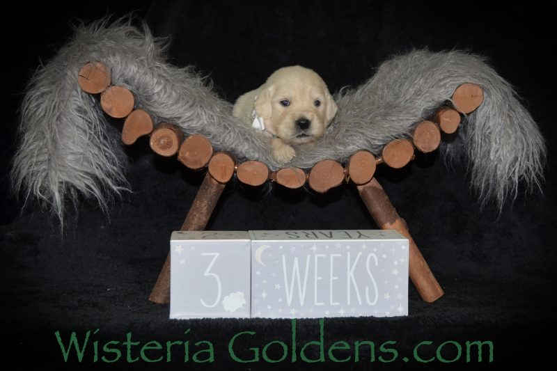Sunny Litter Born 04/09/2019. 3 Girls and 7 Boys. Three Week Pictures. Wisteria Goldens English Cream Golden Retriever puppies for sale. Bred with HEART. AKC Registered. Wisteria Golden