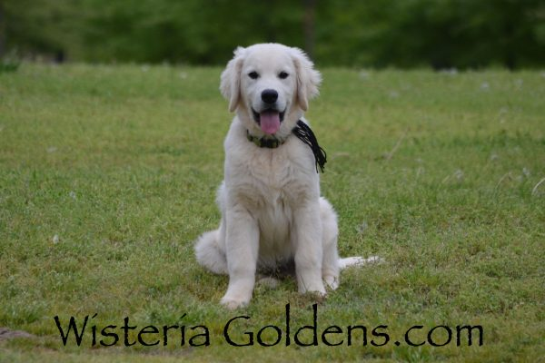 Theo (Black Boy Piper/Ego – Litter Born 12/30/2018). Starter Trained Puppies for sale Available Now! English Cream Golden Retriever puppies Wisteria Goldens Bred with HEART AKC Registered English Golden Visit our Trained Puppies page for details. wisteriagoldens.com/trained-english-golden-retriever-puppies-for-sale/ #englishcreamgoldenretriever #puppiesforsale #wisteriagoldens #bredwithheart #akcregistered #englishgolden #availablenow #trainedpuppiesforsale #theo #piper123018