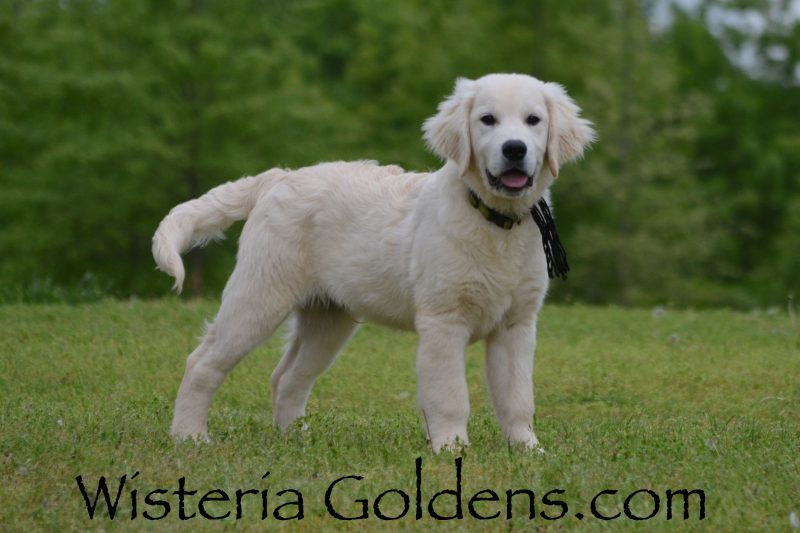 Trained Puppies for sale Available Now! English Cream Golden Retriever puppies Wisteria Goldens Bred with HEART AKC Registered English Golden Visit our Trained Puppies page for details. wisteriagoldens.com/trained-english-golden-retriever-puppies-for-sale/ #englishcreamgoldenretriever #puppiesforsale #wisteriagoldens #bredwithheart #akcregistered #englishgolden #availablenow #trainedpuppiesforsale