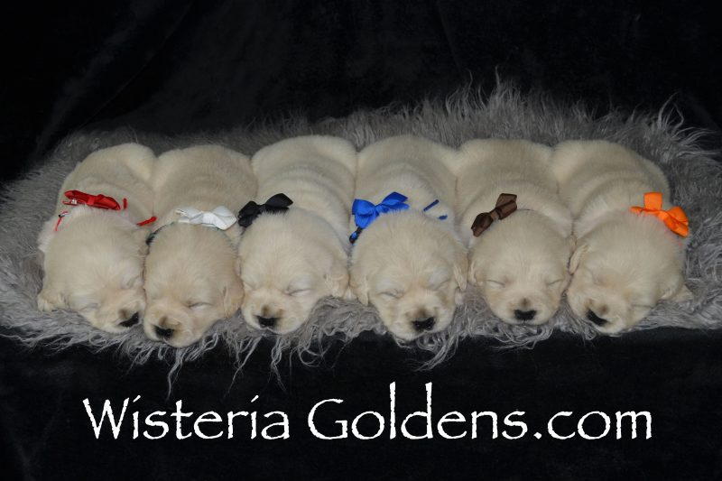 Angel Litter Born 04-20-2019 Three Week Pictures English Cream Golden Retriever puppies for sale. Wisteria Goldens Bred with HEART AKC Registered English Golden. Our puppies are a part of our family until they are a part of yours. #angel042019 #puppypictures