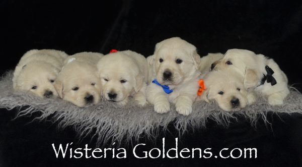 Memphis Blue Boy Angel Litter
