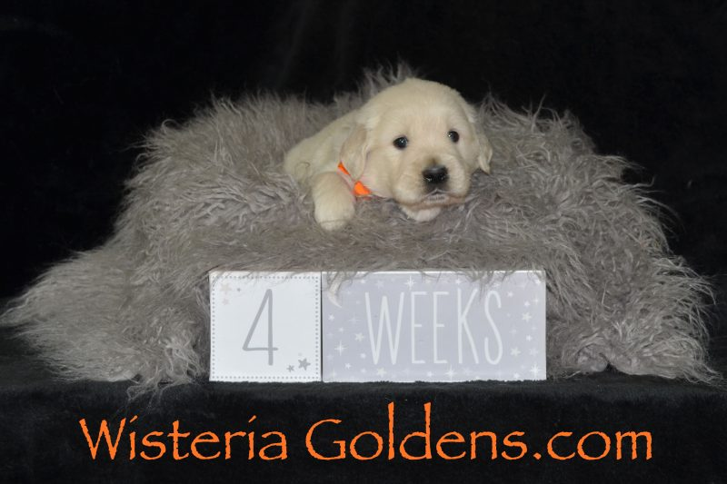 Angel Litter Born 04-20-2019. English Cream Golden Retriever Puppies for Sale Four week pictures Wisteria Goldens Bred with HEART AKC Registered English Golden