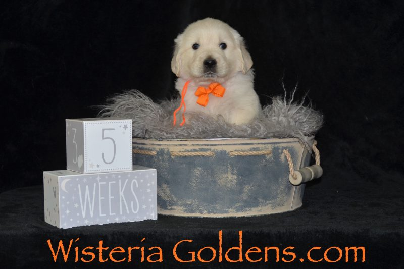 Five Week Pictures English Cream Golden Retriever Puppies for Sale Wisteria Goldens #angel042019