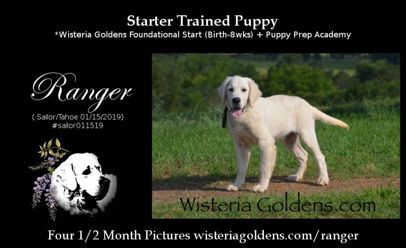 Ranger Starter Trained English Cream Golden Retriever Puppy for Sale Wisteria Goldens Foundational Start + Puppy Prep Academy