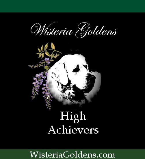 English Cream Golden High Achievers high achievers - Wisteria Goldens STAR and Canine Good Citizen Achievements