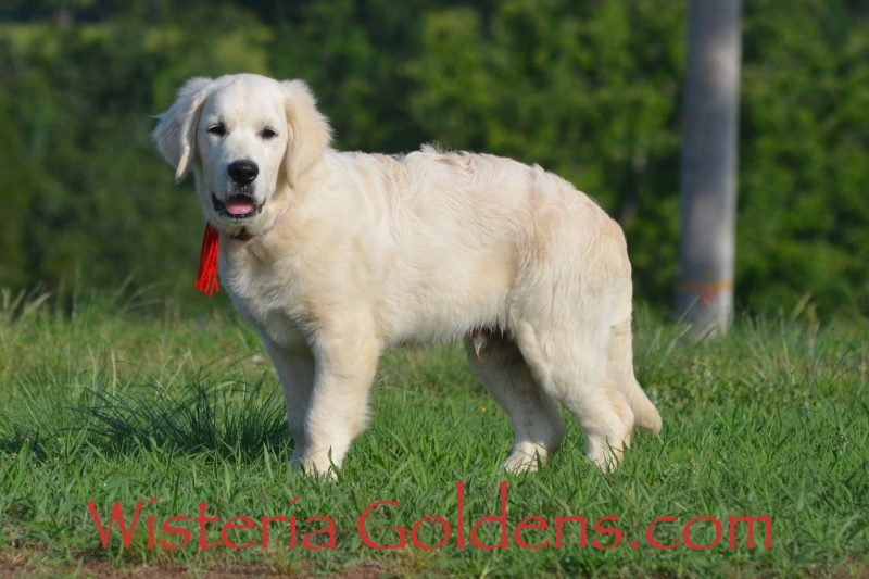 Jake Jake (Red Boy Breeze/Tahoe – Litter Born 1/11/19). English Cream Golden Retriever Starter Trained Puppy for sale Wisteria Goldens