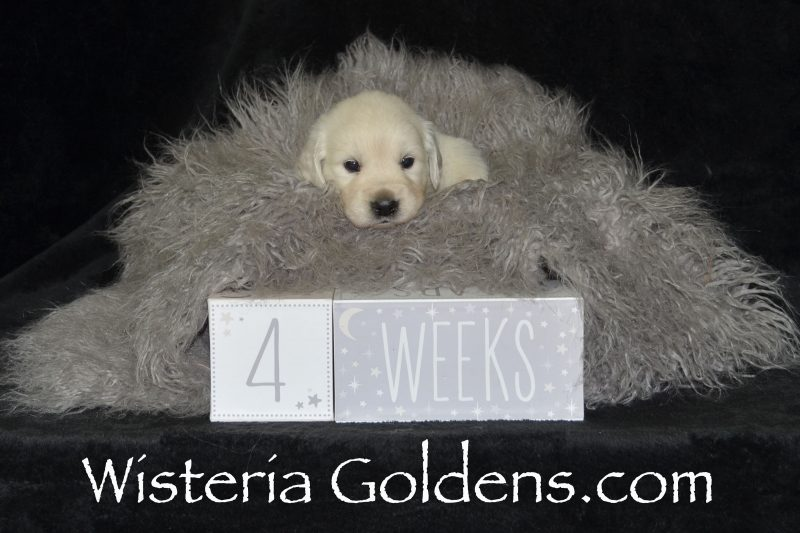Jazz Litter Born 04-19-2019 English Cream Golden Retriever Puppies for Sale Four week pictures Wisteria Goldens Bred with HEART AKC Registered English Golden