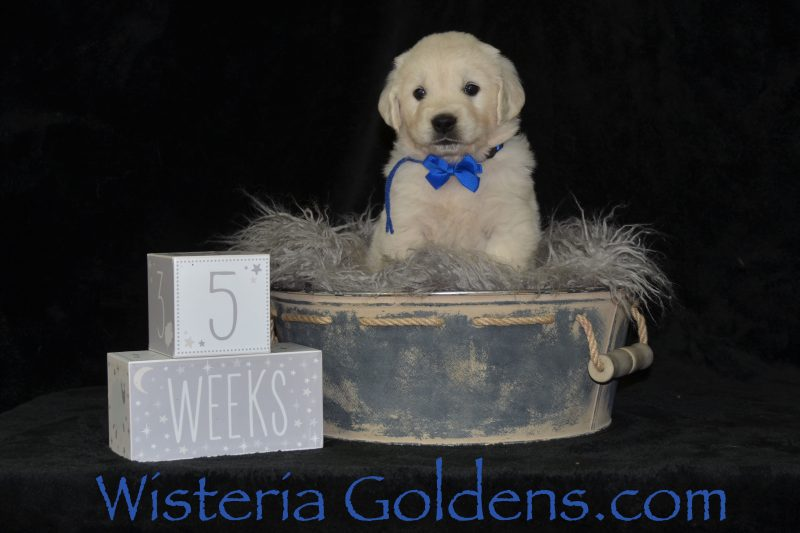 the boys five week pictures #jazz042019 english goldens wisteria goldens puppies for sale