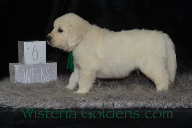 Jazz Litter Six Week Pictures Wisteria Goldens English Cream Golden Retriever Puppies for Sale