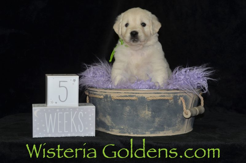 the girls five week pictures #jazz042019 english goldens wisteria goldens puppies for sale