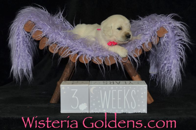 Jazz Litter Born 04-19-2019 Three Week Pictures English Cream Golden Retriever puppies for sale Wisteria Goldens Bred with HEART AKC registered English Golden Jazz/Ego #jazz041919
