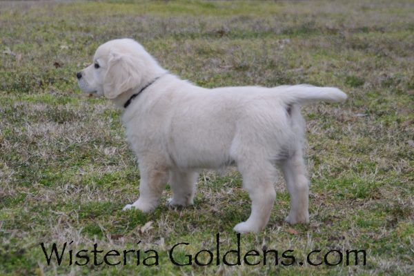 Theo (Piper/Ego) English Cream Golden Retriever Starter Trained Puppy for sale Wisteria Goldens AKC English Golden puppies for sale. Eight Week Pictures Black Boy (Theo)