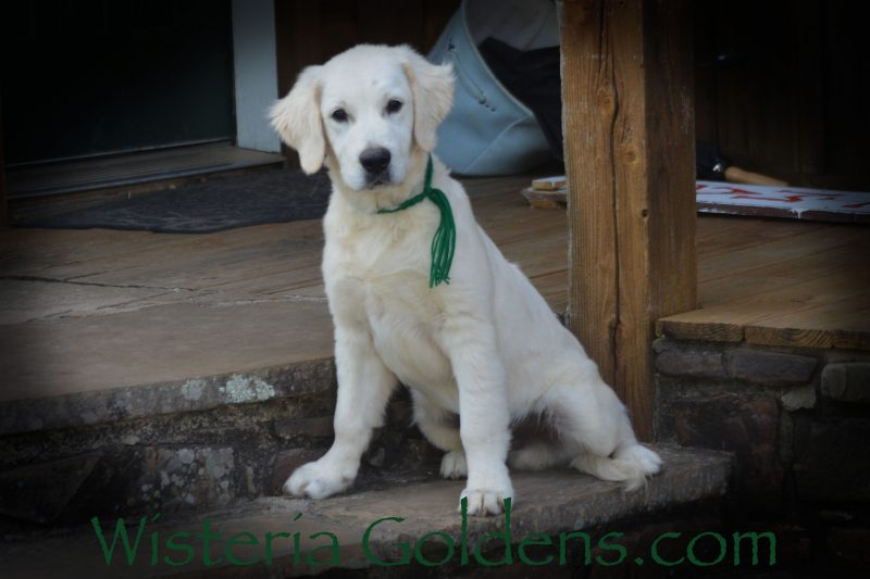 Ryder 4.5 Months Starter Trained English Cream Golden Retriever puppy for sale. Wisteria Goldens