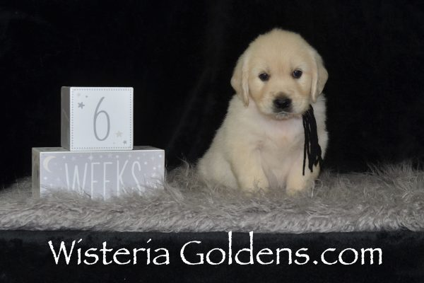 Sunny Litter Six Week Pictures Sunny/Ego English Cream Golden Retriever puppies for sale Wisteria Goldens #sunny041919