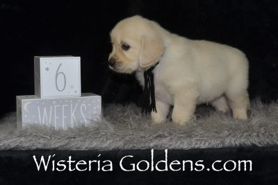 Shiloh Sunny Litter Six Week Pictures Sunny/Ego English Cream Golden Retriever puppies for sale Wisteria Goldens #sunny041919