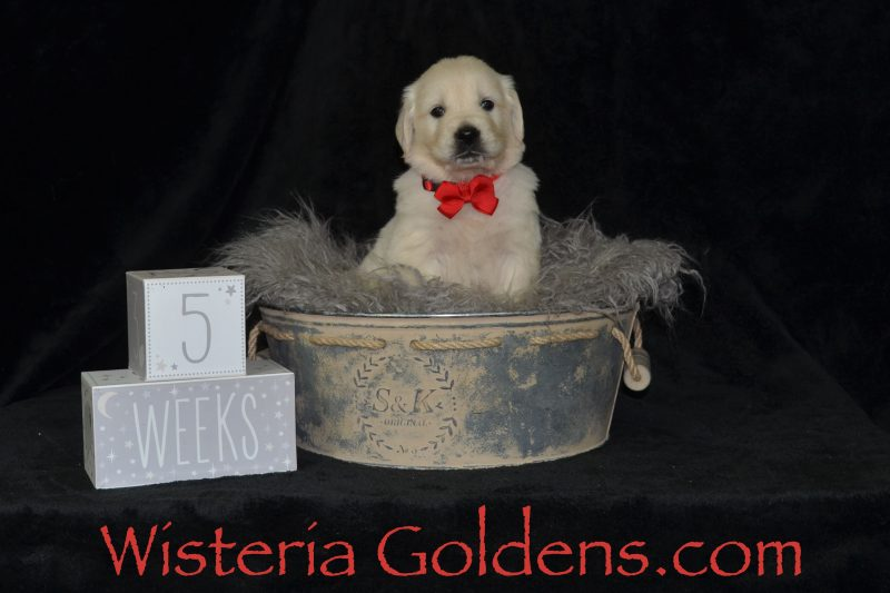 Sunny Litter Born 04-09-2019 Five Week Pictures English Cream Golden Retriever Puppies for sale Wisteria Goldens Bred with HEART AKC Registered English Golden