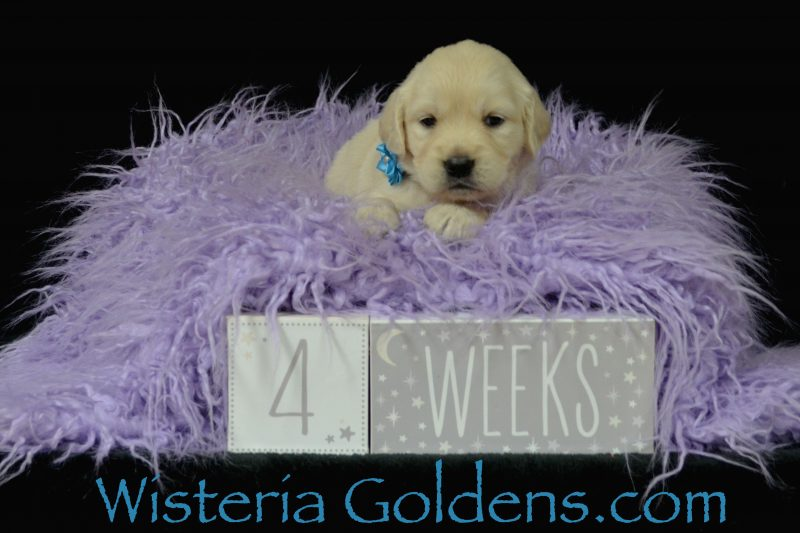 Sunny Litter Born 04-09-2019 Four Week Pictures English Cream Golden Retriever puppies for sale Wisteria Goldens Bred with HEART AKC Registered English Golden wisteriagoldens.com #sunny040919
