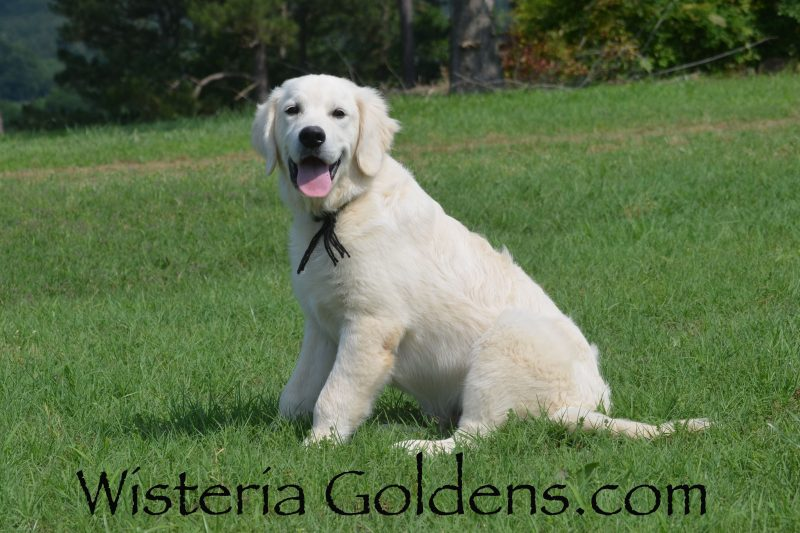 Theo Piper/Ego Starter Trained Wisteria Golden puppy for sale Photo is five months English Cream Golden Retriever foundational start plus puppy prep academy at Wisteria Goldens Ranch #piper123018