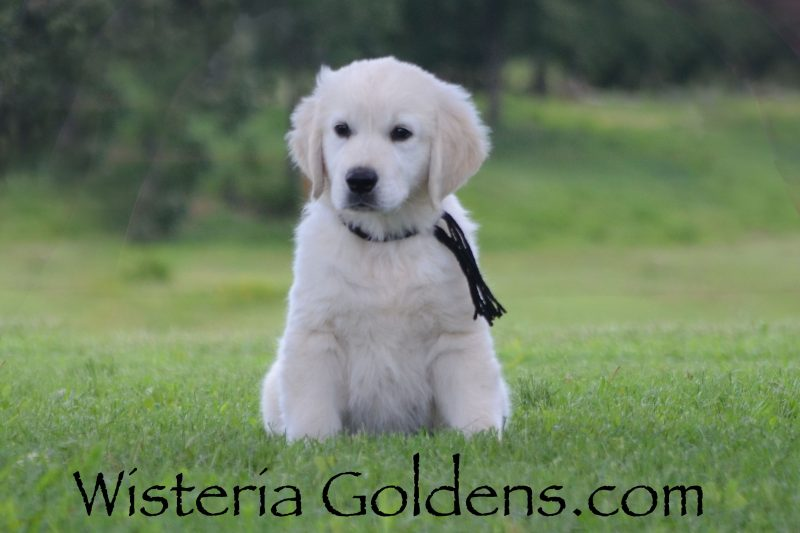 Angel042019 9.5 week puppy pictures English Cream Goldens are raised as a part of our family until they become a part of yours Wisteria Goldens