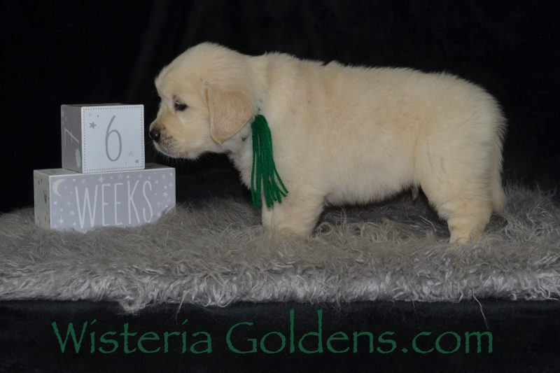 Angel-Chance Litter Six Week Pictures English Cream Golden Retriever Puppies for sale. Wisteria Goldens Foundational Start. Raised as part of our family until they become a part of yours. Visit www.wisteriagoldens.com/