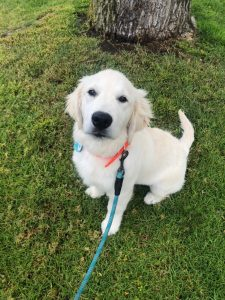 Lenny (Piper/Ego - 12/30/18) #piper123018 Trained Puppy Happy Family Wisteria Goldens Puppy Prep Academy English Cream Golden Retriever Puppies for sale