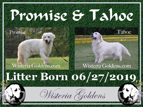 Promise Litter Born 06-27-2019 Available puppies English Cream Golden Retriever puppies for sale Wisteria Goldens are raised as part of our family until they become a part of yours.