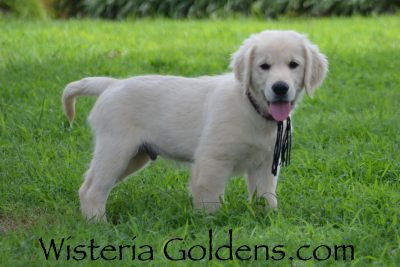 Shiloh New Pictures Eleven Weeks! Sunny Litter Born 04-09-2019 – Litter Hashtag #Sunny040919 We raise English Cream Golden Retriever Puppies For Sale as part of our family until they become part of yours. Visit to find out more about our facility and our Foundational Start Routine at WisteriaGoldens.com