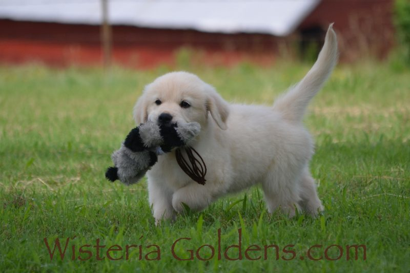 English Cream Golden Retriever puppies for sale. Sunny Litter Eight Week Puppy Pictures. Ready for their Forever Homes Now. #wisteriagoldens #sunny040919 Our puppies are raised as part of our family until they become a part of yours. #puppiesforsale #foreverfamily #goldenretrieverpuppy #englishcreamgolden #englishcreamgoldenretriever #welovegoldens