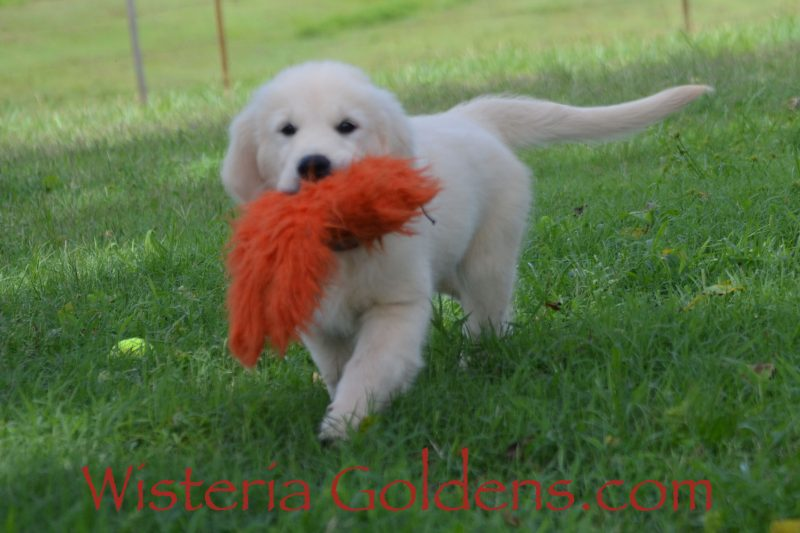 New Pictures Eleven Weeks! Sunny Litter Born 04-09-2019 – Litter Hashtag #Sunny040919 We raise English Cream Golden Retriever Puppies For Sale as part of our family until they become part of yours. Visit to find out more about our facility and our Foundational Start Routine at WisteriaGoldens.com