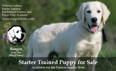 Ranger Starter Trained Puppy for sale