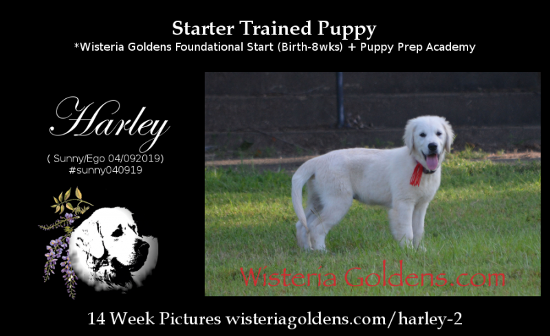 Harley 14 week picture Starter Trained Puppy